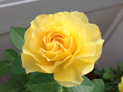 Doris Day rose